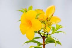 Blomma vinrankan för den guld- trumpeten, den gula klockan (Allamandacatharticaen) Royaltyfria Bilder