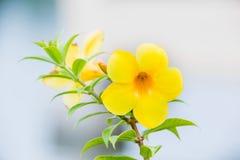 Blomma vinrankan för den guld- trumpeten, den gula klockan (Allamandacatharticaen) Royaltyfri Foto