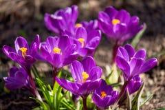 Blomma violetta krokusar under ljust solljus i tidig vårskog royaltyfri fotografi