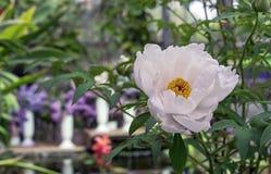 Blomma vit peonie Vit peonie i stadsträdgården arkivfoton
