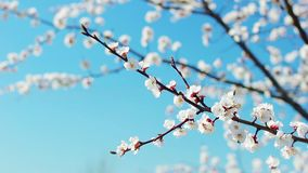 Blomma vita aprikosfilialer liljar Spring Valley f?r leaves f?r hyacint f?r bakgrundskortgreen April dag f?r blomninggreen f?r fi arkivfilmer