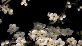 Blomma vita blommor arkivfilmer