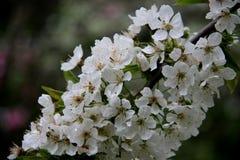 Blomma vita Cherry With Blurs Background arkivbild