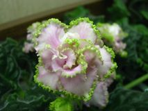 Blomma volymetrisk vit med rosa skuggor och högt korrugerade gröna kanten som blommar på grön bakgrund Royaltyfri Fotografi
