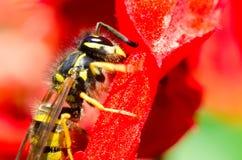 blomma waspen Arkivbild
