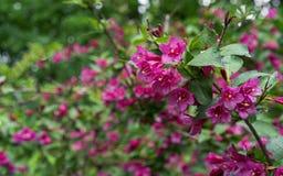 Blomma weigelaen WeigelaEvita låg-växande buske med röda och rosa blommor royaltyfria bilder