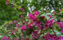 Blomma weigelaen WeigelaEvita låg-växande buske med röda och rosa blommor arkivfoto