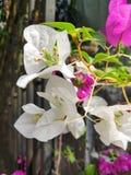 blomma white royaltyfri fotografi