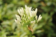 blomma white Arkivbild