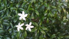 blomma white Royaltyfria Bilder