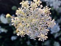 blomma white Royaltyfri Bild