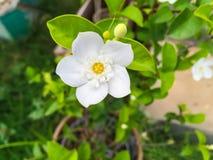 blomma white Royaltyfria Foton