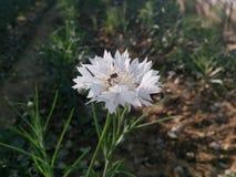 blomma white Arkivfoto