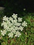 blomma white Arkivbilder