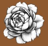 Blomma white för tree för bakgrundsteckningsblyertspenna Royaltyfria Bilder