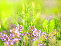 Blomma wild blomma - timjan Royaltyfri Bild
