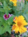 blomma yellow Royaltyfri Fotografi