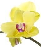 blomma yellow för phalaenopsis för blommaorchidorchids Arkivfoton