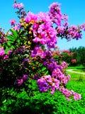 Blomma Ziwei blommor, lilablomma Arkivfoto