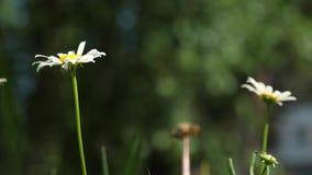 Blommaaffärsidé closeup Härliga tusenskönor blommar i sommar på gräsmatta blommor för vit tusensköna dinglar i vind arkivfilmer