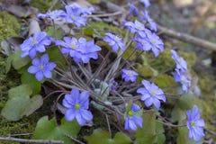 Blommaanemonblåsippan, blåa blommor växer i vår i skogblåsippanobilisna royaltyfria bilder
