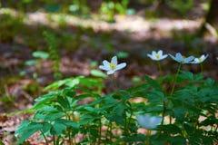 Blommaanemonranunculoides som blomstras i vårskog Arkivfoto