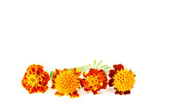 Blommaapelsinringblomma Royaltyfria Bilder