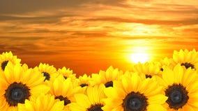 Blommabakgrund av gula solrosor på solnedgången royaltyfri foto