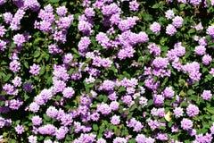 Blommabakgrund: Violetta blommor i en buske med gröna sidor Solig dag solljus royaltyfri fotografi