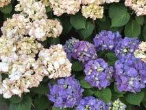 Blommabankettvanliga hortensior fotografering för bildbyråer