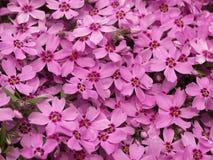 blommabergpink Royaltyfri Fotografi