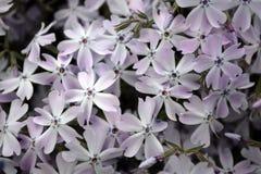 blommabergpink Arkivbilder
