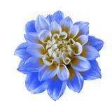 Blommablått gulnar dahlian som isoleras på vit bakgrund Närbild Makro element för klockajuldesign arkivfoton
