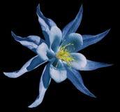 Blommablått Isolerat på den svarta bakgrunden med den snabba banan Inget skuggar closeup Härliga blomningar för en primula Royaltyfri Fotografi