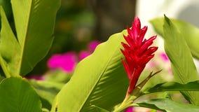 Blommablomma för röd ingefära lager videofilmer