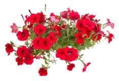 blommablommor lägger in röd surfinia