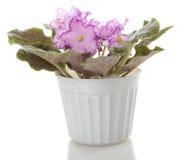 blommablommor lägger in saintpaulia Fotografering för Bildbyråer