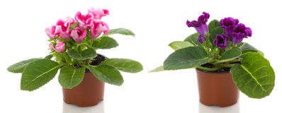 blommablommor lägger in sinningia Royaltyfri Bild