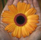 Blommablomning i händer Arkivbild