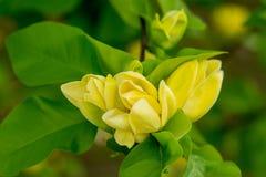 Blommablomning på naturlig bakgrund Att blomstra blommar med gula kronblad Gula blom- och gräsplansidor Natur Arkivfoton
