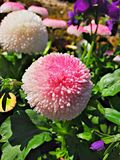 Blommaboll Royaltyfri Foto