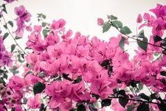 Blommabougainvillea Arkivbild