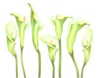 BlommaCallas på en vit bakgrund stock illustrationer