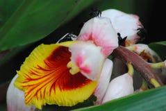 blommaCloseup av en ursnygga Costa Rican Orchid With Bees arkivfoton
