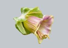 Blommacobaea Fotografering för Bildbyråer