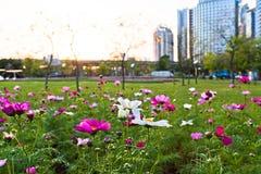 Blommacoreopsis som blommar i staden, parkerar Royaltyfria Foton