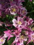 Blommad buske för vårtid arkivbild