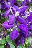 blommad clematis Royaltyfri Fotografi