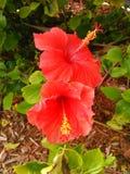 Blommad hibiskus Royaltyfria Bilder