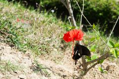 Blommad röd kines steg med fjärilen fotografering för bildbyråer
